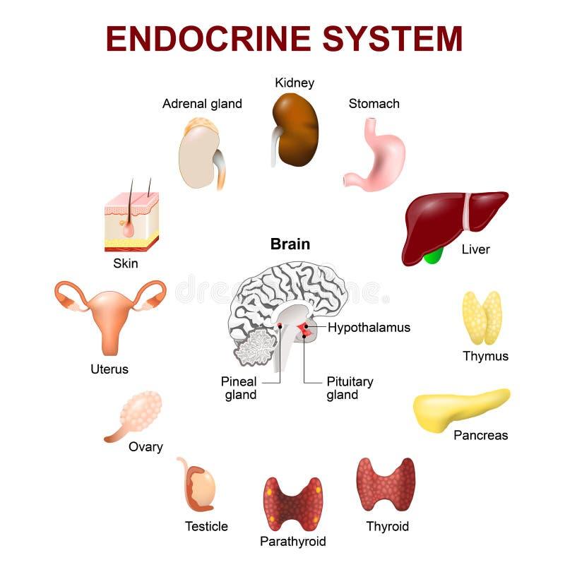 Endocrien systeem Vastgestelde pictogrammen royalty-vrije illustratie