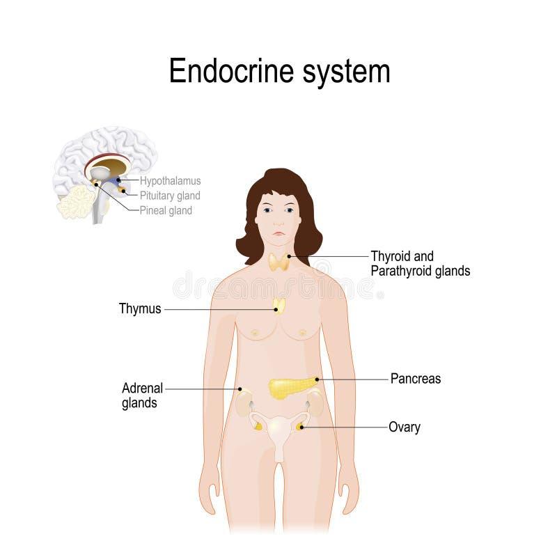 Endocrien systeem Voor vrouw Close-up van endocriene klieren in hersenen vector illustratie