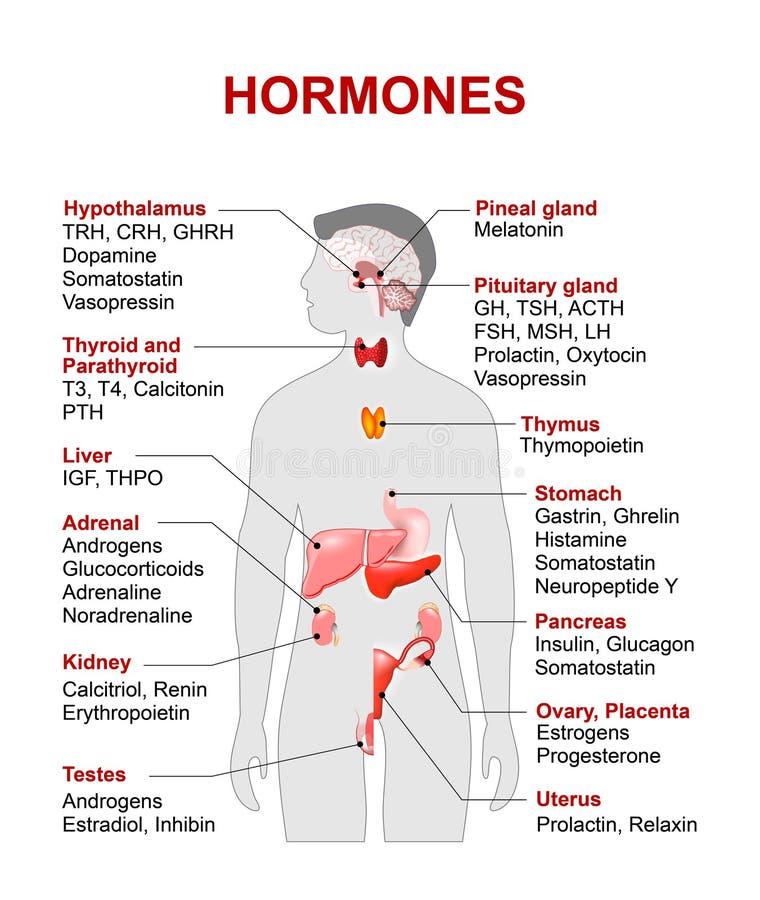 Endocriene klier en hormonen vector illustratie