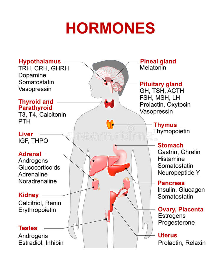 Endocrine Gland And Hormones Stock Image Image Of Glucocorticoids
