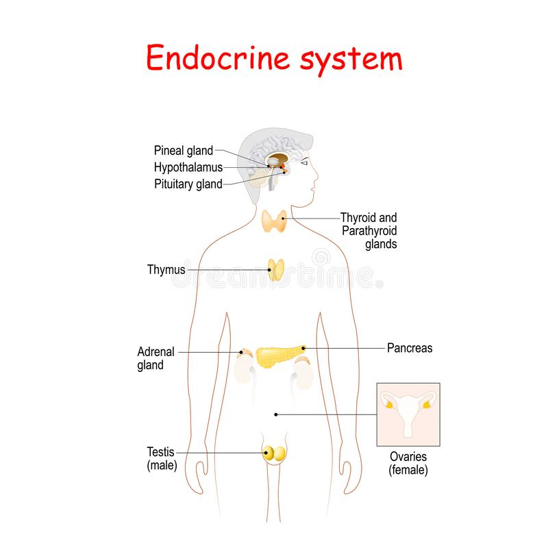 Free Endocrine Glands. Human Silhouette With Highlighted Internal Organs Royalty Free Stock Photos - 165553788