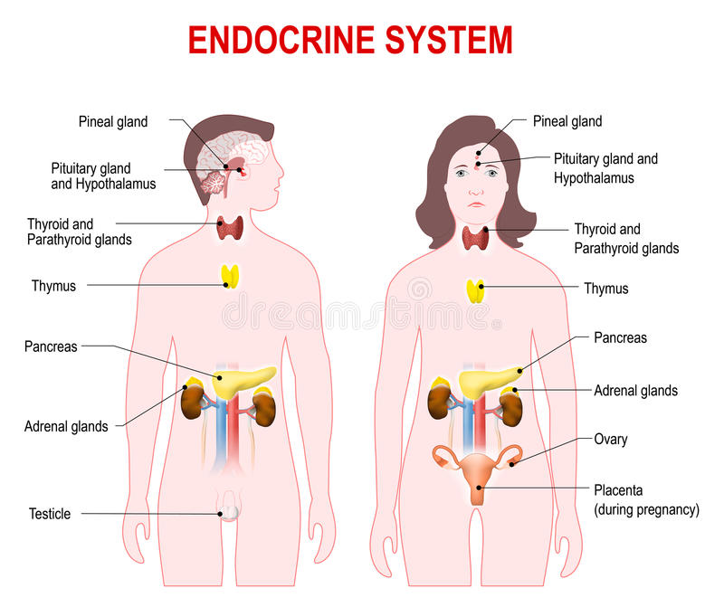 Endocrine system stock vector illustration of parathyroid 70462901 download endocrine system stock vector illustration of parathyroid 70462901 ccuart Choice Image