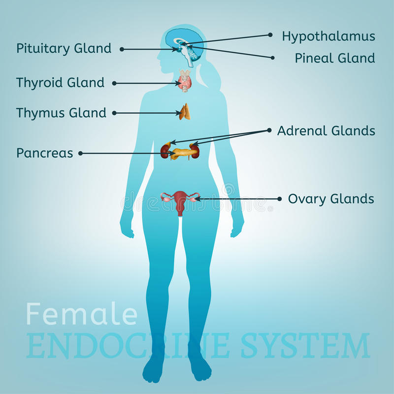 Endocrine system woman stock vector illustration of hormone 96659012 download endocrine system woman stock vector illustration of hormone 96659012 ccuart Image collections