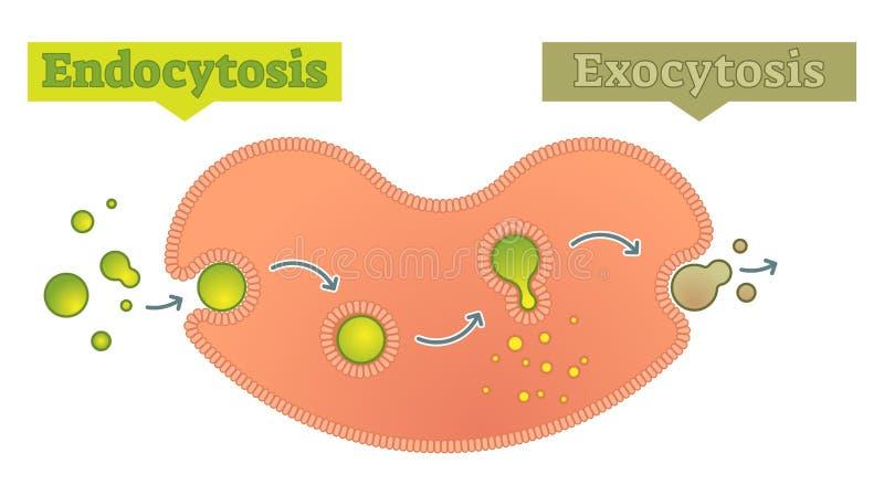 Endocytosis And Exocytosis Diagram Vector Illustration Stock Vector