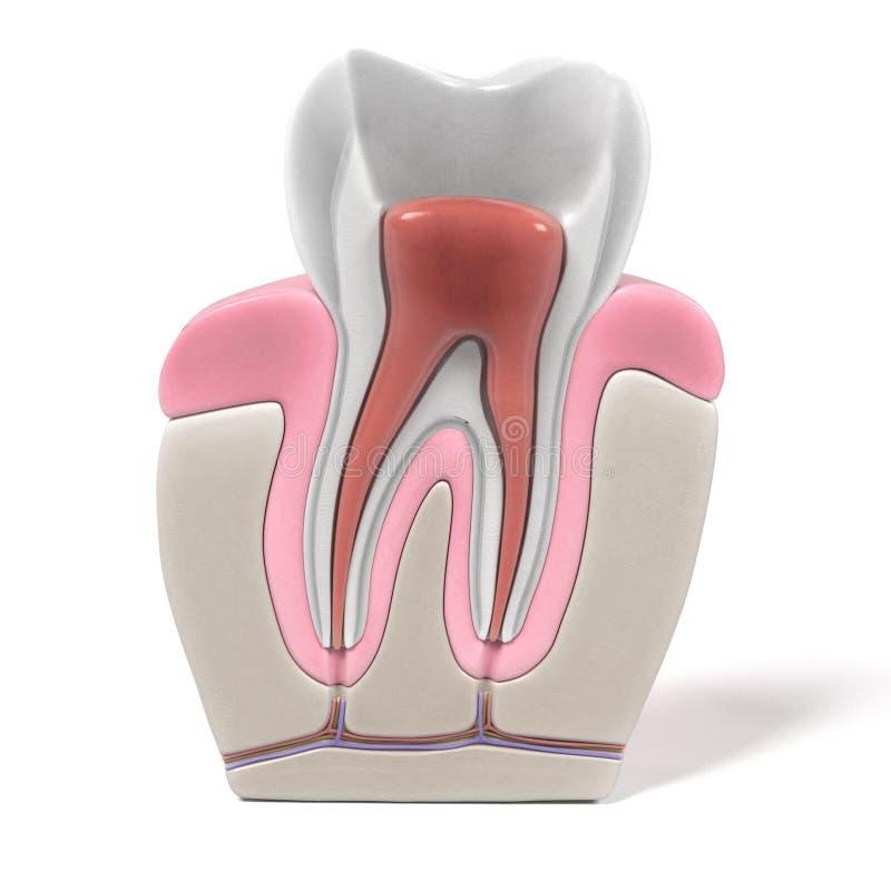 Endodontics - root canal procedure. 3d renderings of endodontics - root canal procedure royalty free illustration