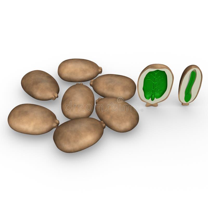 Endosperm van Ricinuszaad vector illustratie