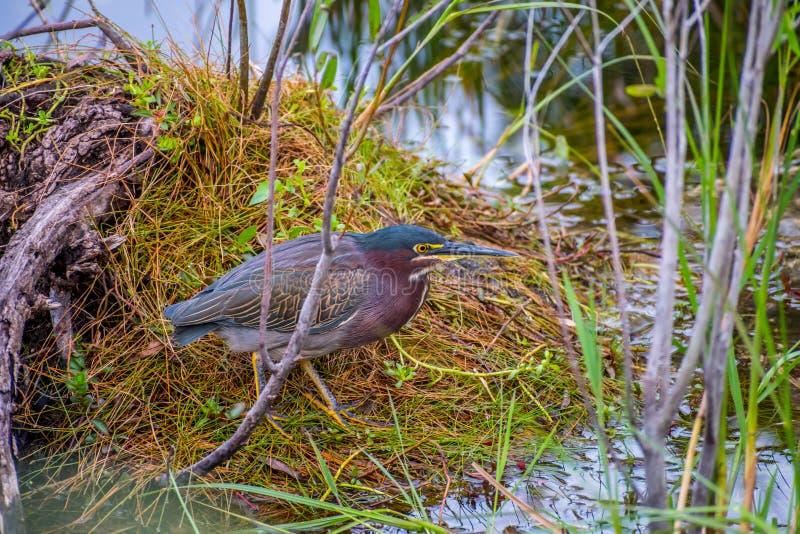 Endragen tillbaka häger i Everglades nationalpark, Florida royaltyfri bild