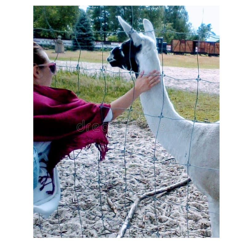 Endroits naturels lama et frendship de femmes photographie stock