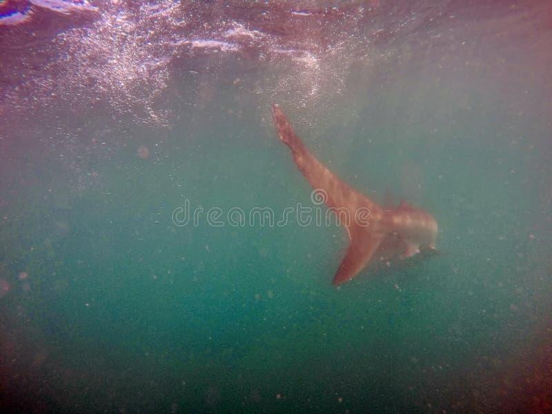 Endstück eines kupfernen Haifischs lizenzfreie stockbilder