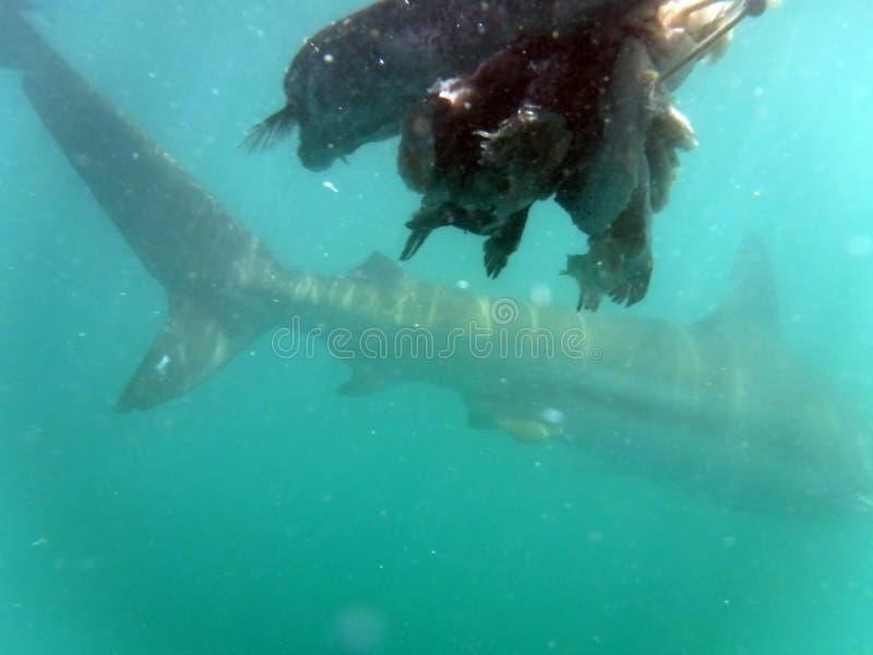 Endstück eines kupfernen Haifischs lizenzfreies stockbild