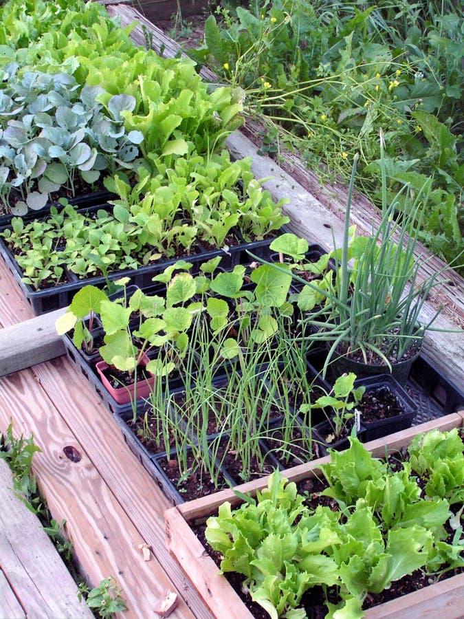 Endurecimiento de plantas de semillero foto de archivo libre de regalías