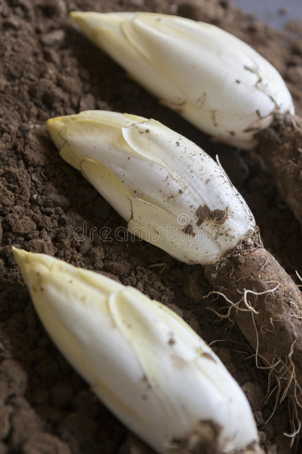 Endywie /Chicory R w ziemi zdjęcie royalty free
