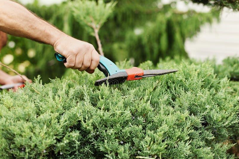 Enebro del corte Alguien arbustos del ajuste con las tijeras del jardín C fotos de archivo libres de regalías