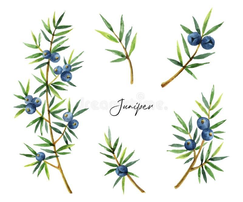 Enebro determinado de las plantas de la acuarela aislado en el fondo blanco libre illustration