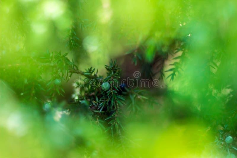 Enebro verde, lanzamientos jovenes y bayas foto de archivo libre de regalías