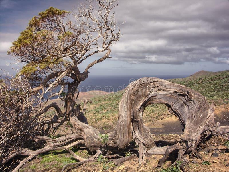 Enebro viejo en el Sabinar de la isla del EL Hierro, islas Canarias, S imagen de archivo libre de regalías