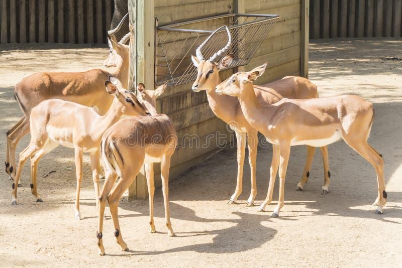 Enegreça as impalas enfrentadas que ficam no sol, Aepyceros Melampus Peter fotos de stock