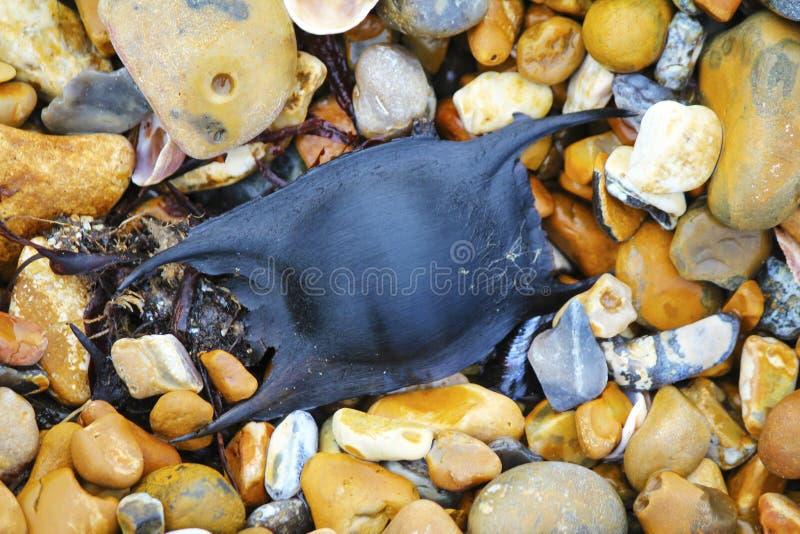 Enegreça a caixa manchada do ovo do montagui de Ray Raja em Pebble Beach em Sussex do leste, Inglaterra fotos de stock royalty free