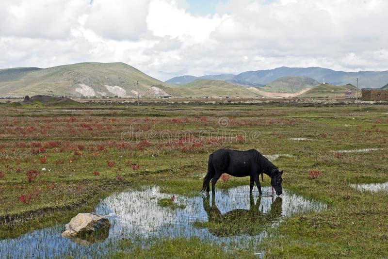 Enegreça o cavalo que pasta no prado imagens de stock royalty free