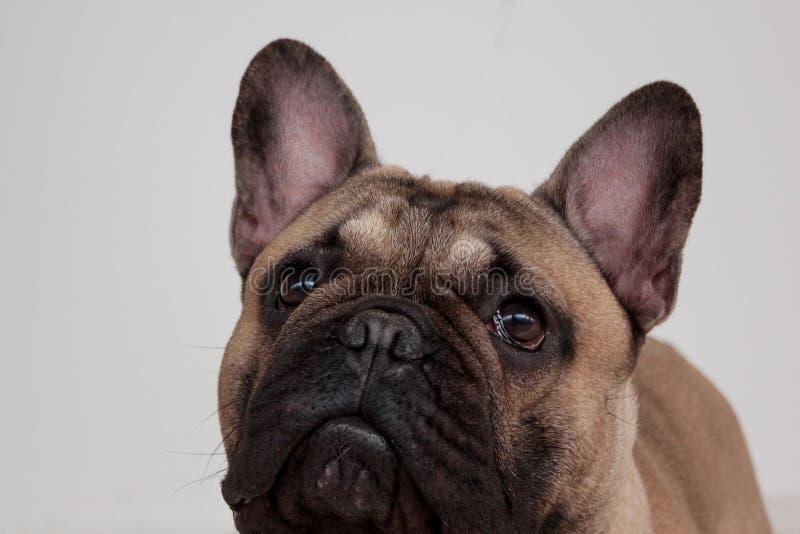 Enegreça o fim mascarado do cachorrinho do buldogue francês da jovem corça acima Animais de animal de estimação imagem de stock royalty free