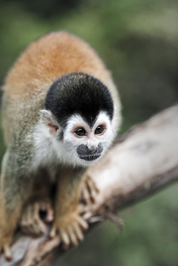 Enegreça o macaco de esquilo tampado no ramo na floresta tropical das Amazonas imagem de stock