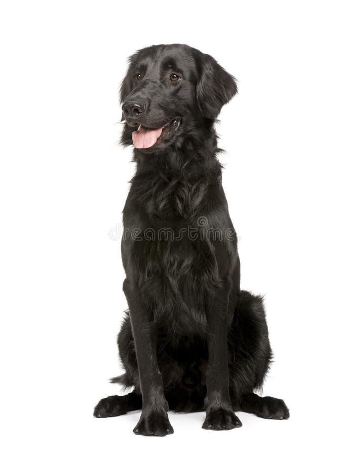 Enegreça o retriever de Labrador (17 meses) fotos de stock royalty free