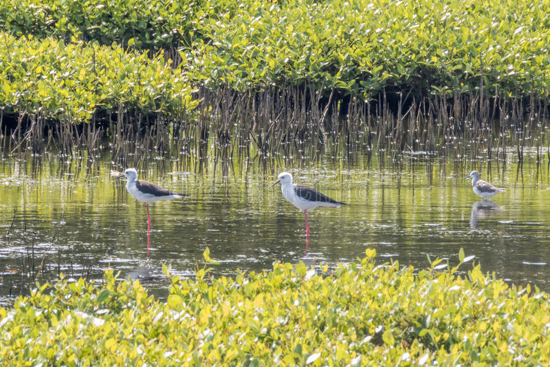 Enegreça pernas de pau voados em um pântano na lagoa de Kalpitiya, Sri Lanka fotos de stock royalty free