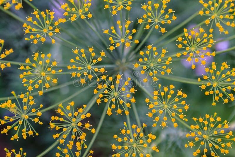 Eneldo en fondo de la textura del primer de la floración imagenes de archivo