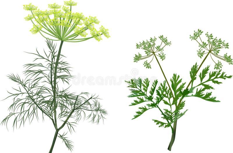 Eneldo verde y apio aislados en blanco ilustración del vector