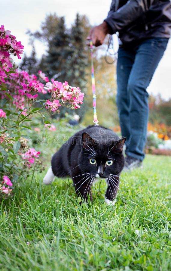 Energetic black and white cat is running on green grass while walking on harness with owner. royalty free stock photos