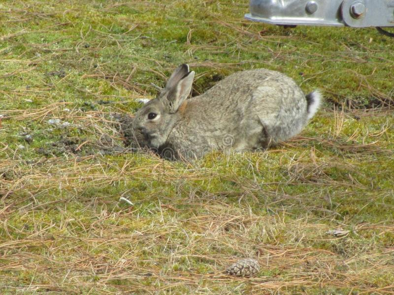 Energetic grey bunny rabbit digging a burrow at a beach park. An active brown-grey bunny rabbit looking attentively while digging a burrow, British Columbia royalty free stock image