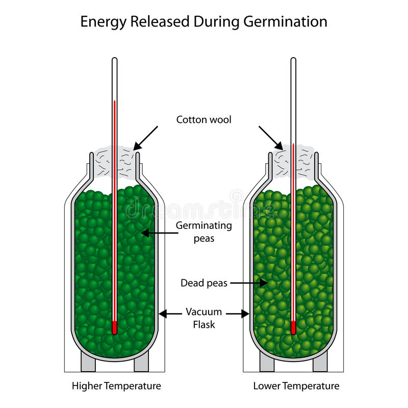 Energy released during germination of peas stock illustration
