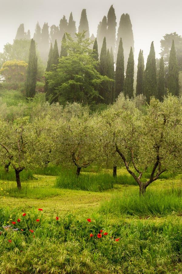Enevoe a suspensão no bosque verde-oliva em Toscânia, Itália fotos de stock royalty free