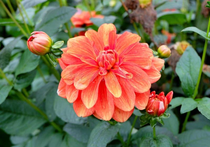 enfärgad dahliadalia blomma i en trädgård som blommar fullständigt med kronblad av varierande färger, från rött till apelsinen oc royaltyfri foto