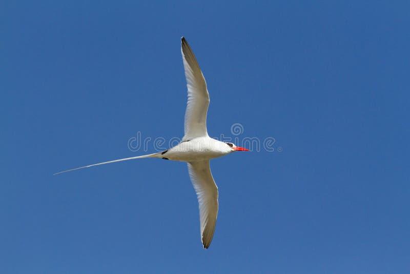 Enfakturerad vändkretsfågel, Phaethonaethereus, i flykten mot blå himmel, Galapagos öar arkivbilder