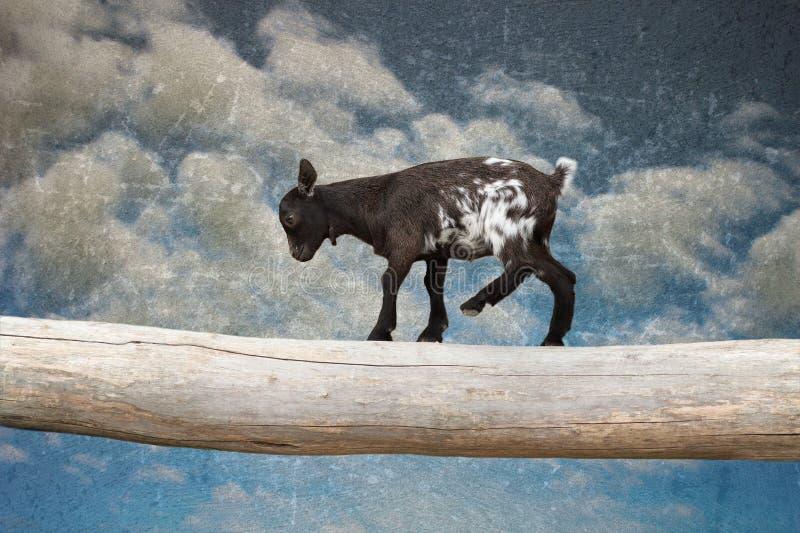 Enfant de chèvre marchant avec le courage sur l'entrave d'arbre photo stock
