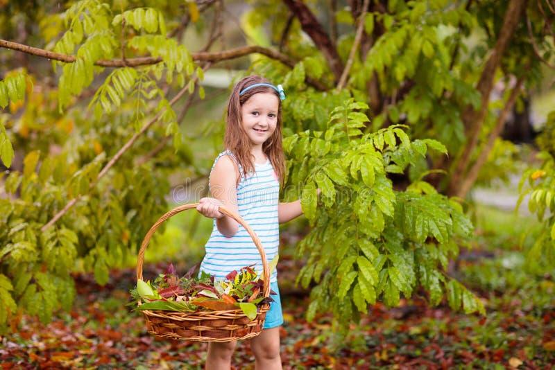 Enfant sélectionnant les feuilles d'automne colorées dans le panier images libres de droits