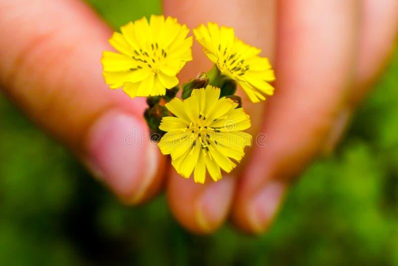 Enfant tenant les Wildflowers jaunes image stock