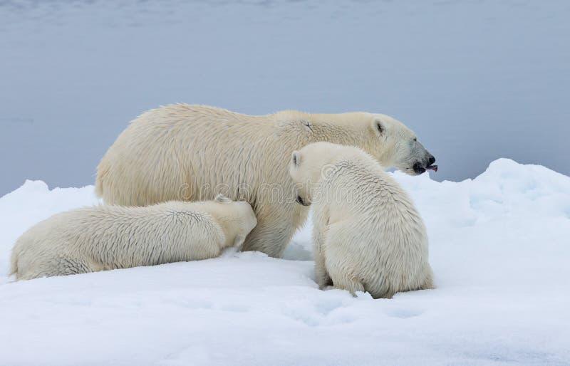 Enfantez l'ours blanc avec un soins de petit animal dans le sauvage photo stock