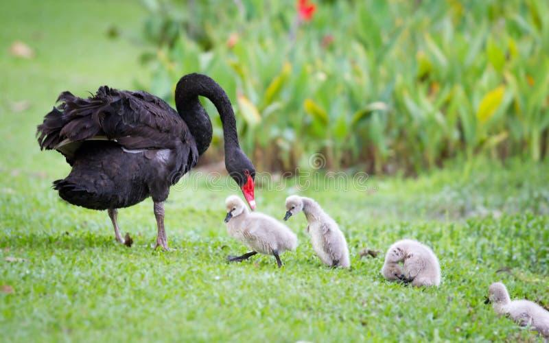 Enfantez le cygne et ses enfants apprenant à marcher image stock