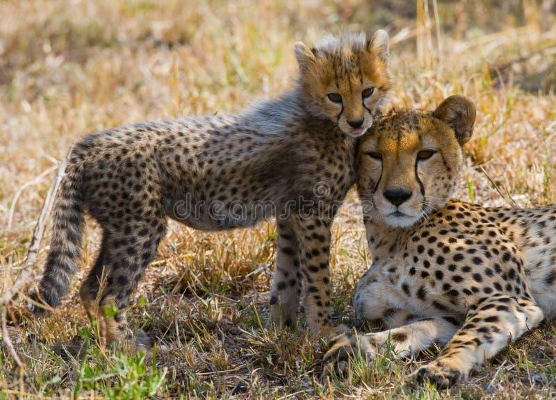 Enfantez le guépard et son petit animal dans la savane kenya tanzania l'afrique Stationnement national serengeti Maasai Mara photo libre de droits