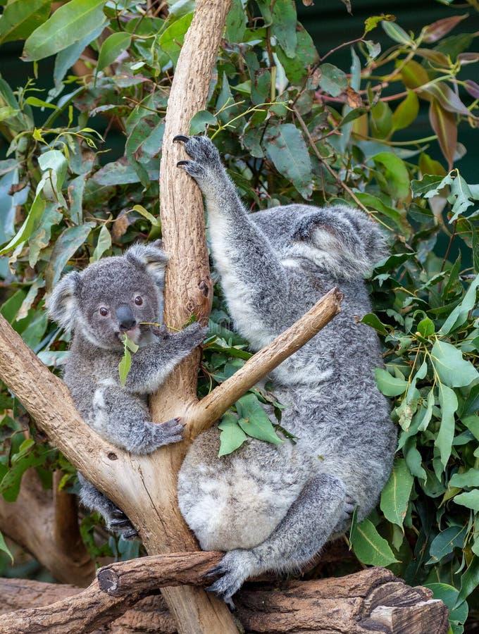Enfantez le koala et deux joeys mangeant des feuilles de gomme images stock