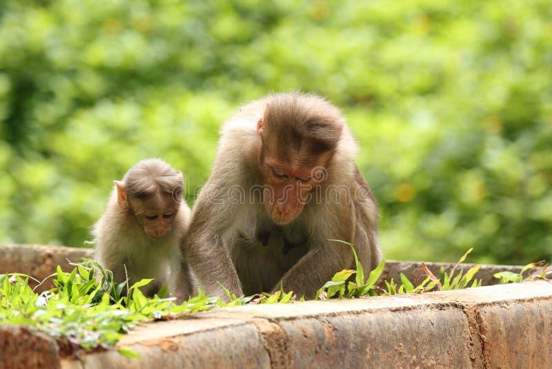 Enfantez le singe rhésus donnant des leçons (enseignement) à son enfant image libre de droits