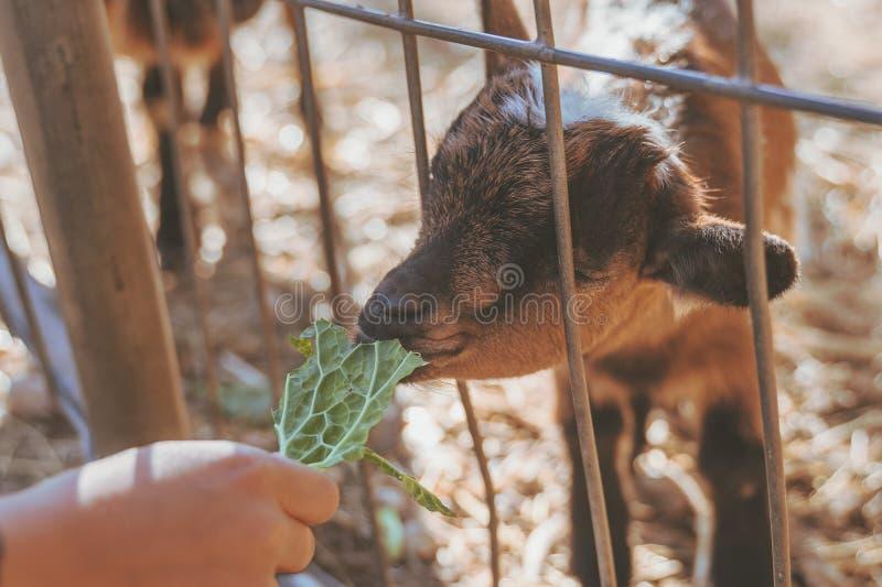 Enfants alimentant la petite chèvre de bébé à la main avec les feuilles vertes fraîches image stock