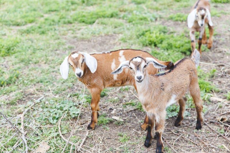 Enfants de chèvre photo stock