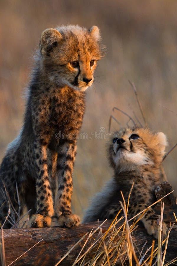 Enfants de mêmes parents de guépard photo stock