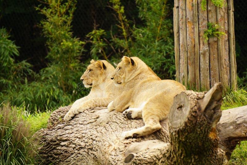 Enfants de mêmes parents de lion au zoo de Cincinnati photo stock