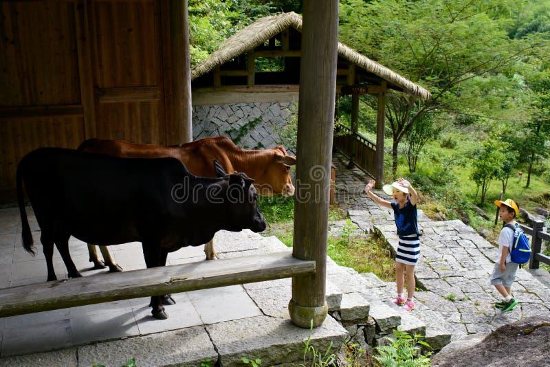 Enfants jouant avec des vaches photos stock