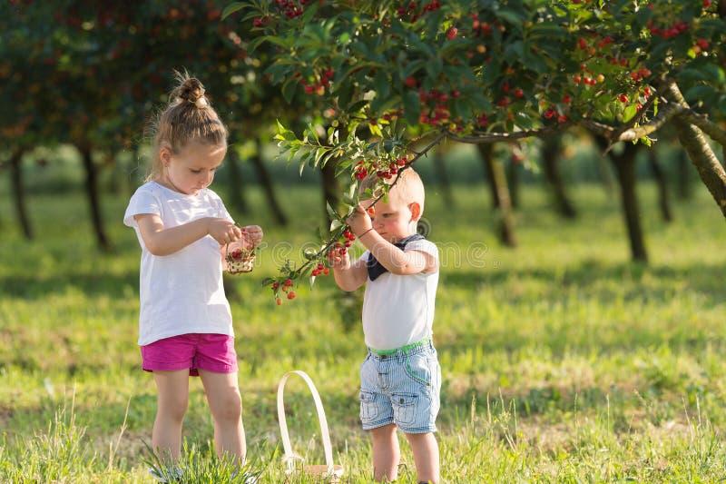 Enfants sélectionnant la cerise images stock