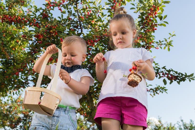 Enfants sélectionnant la cerise photos stock